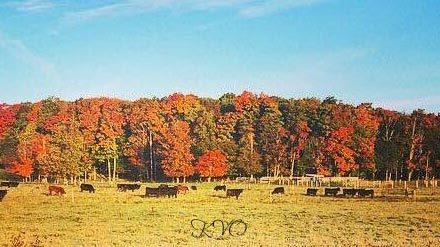 Fall Cattle